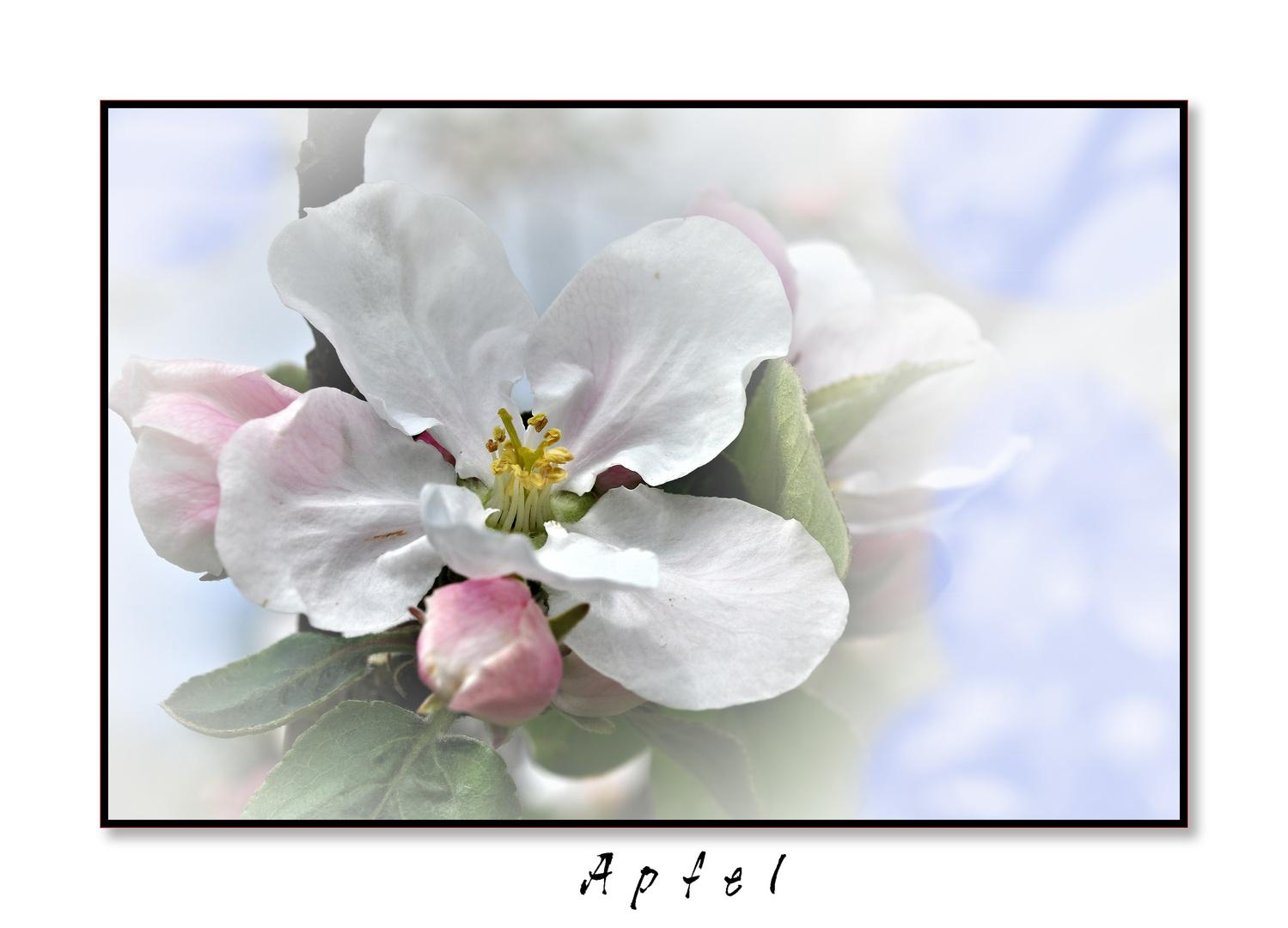 Apfelblüte.....