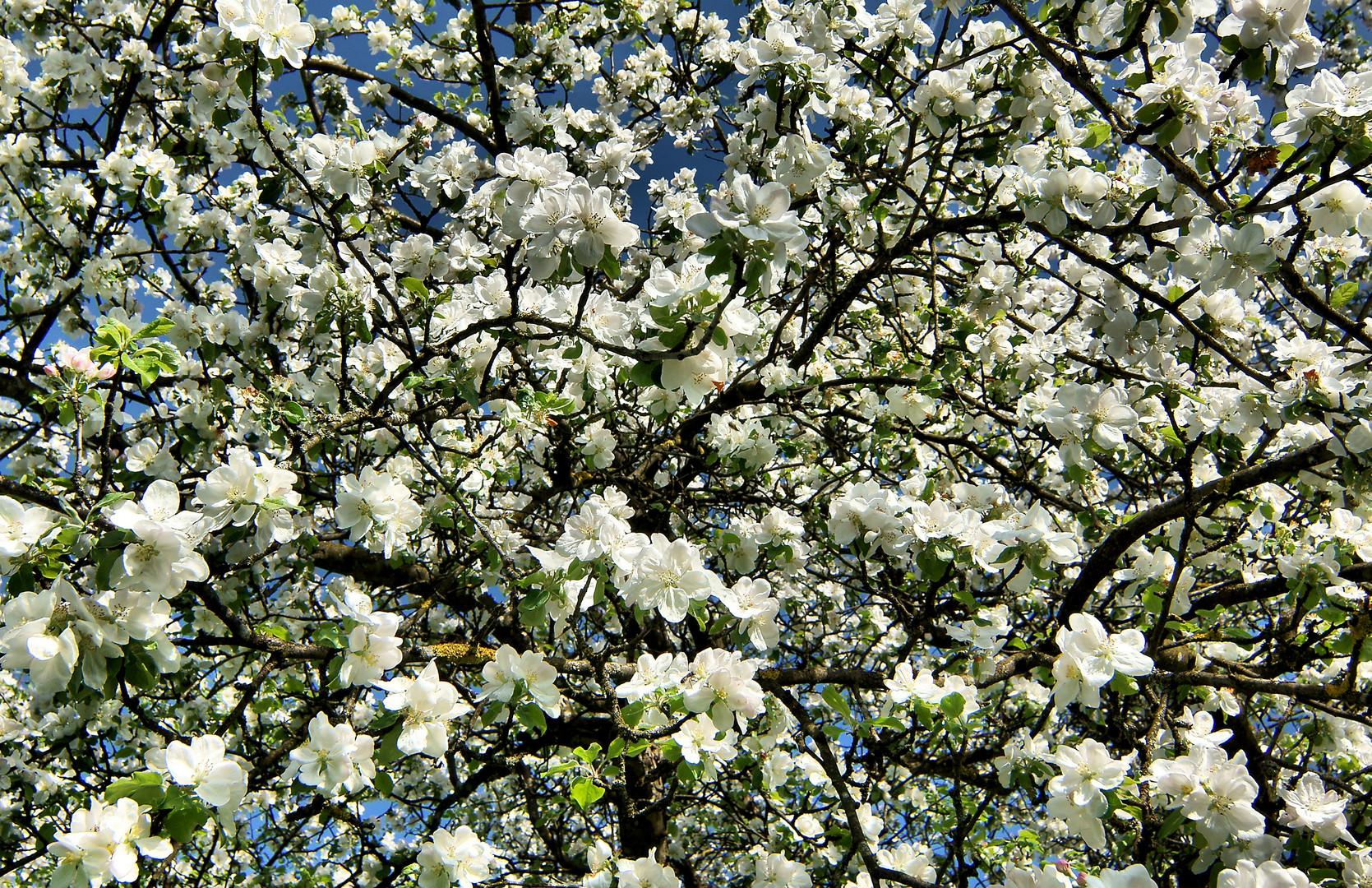 Apfelblüte / 3