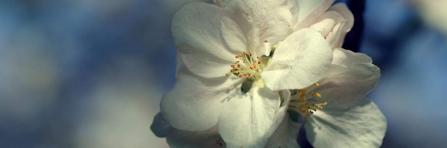Apfelblüte / 4