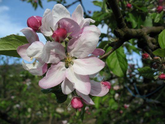 Apfelblüte...