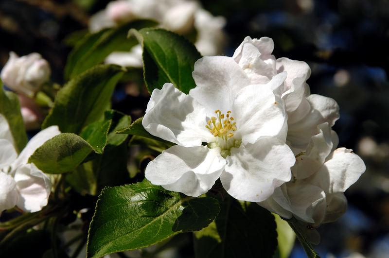 Apfelblüte am späten Nachmittag