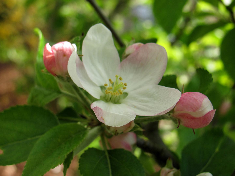 Apfelblüte an Ostern