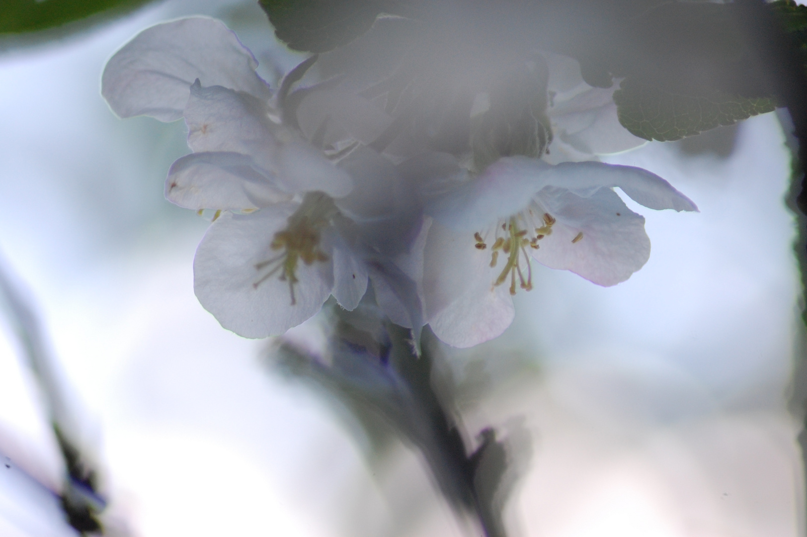 Apfelblüte (aquarell)