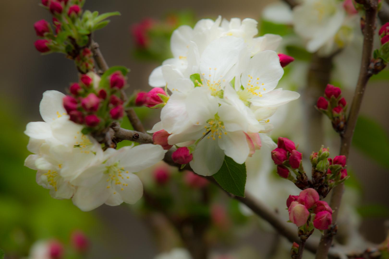 Apfelblüte Bonsai