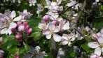 Apfelblüte -Der Brettacher
