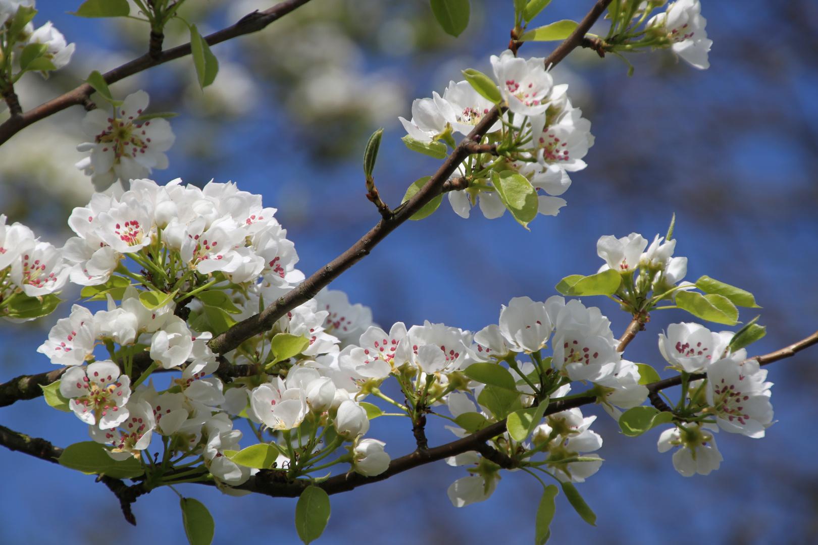 Apfelblüte die Erste