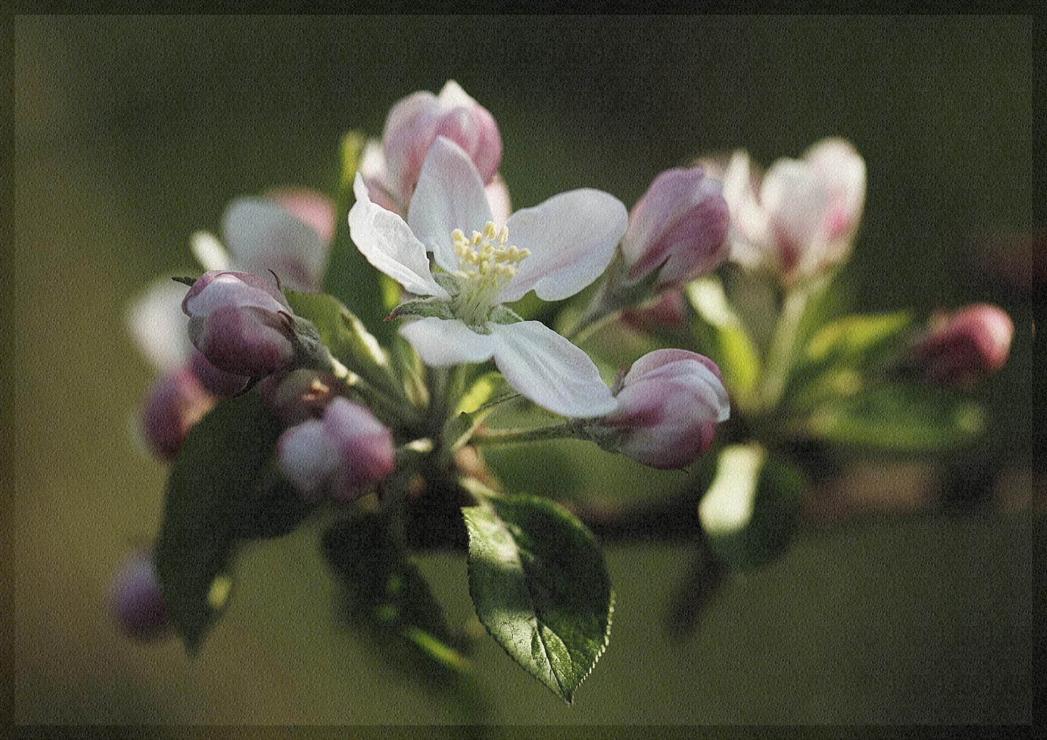 ***Apfelblüte***