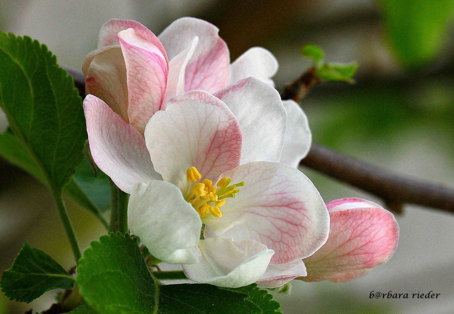 ... Apfelblüte ...