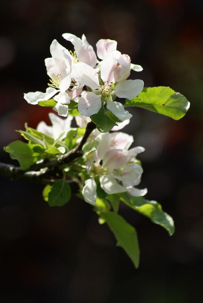 Apfelblüte - Gala-Apfel