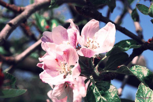 Apfelblüte I