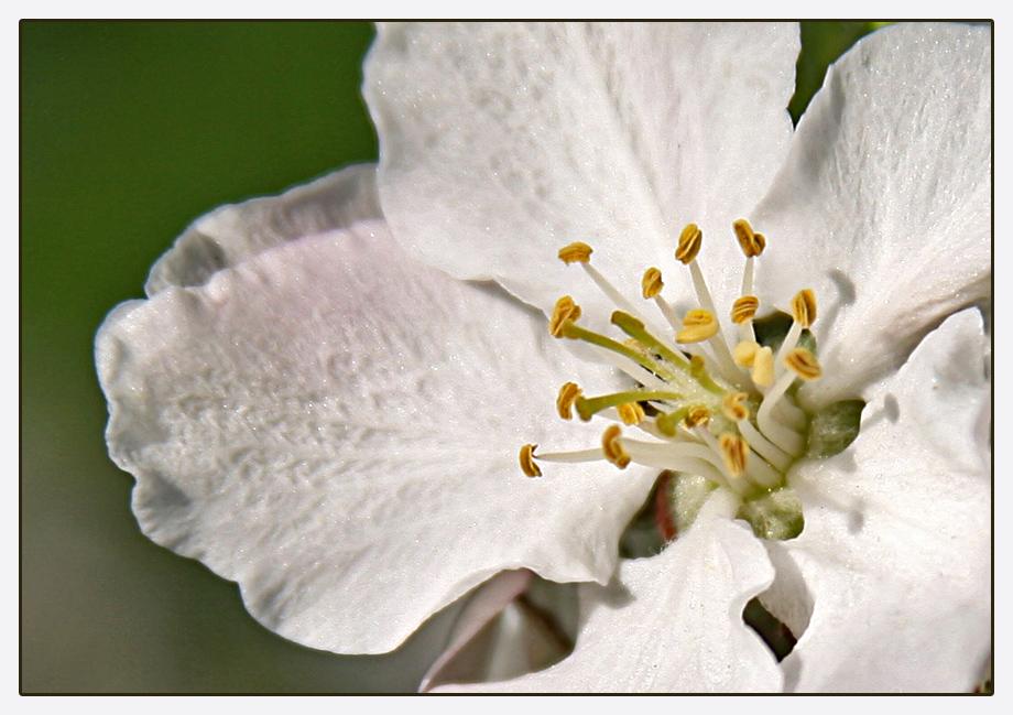 Apfelblüte II