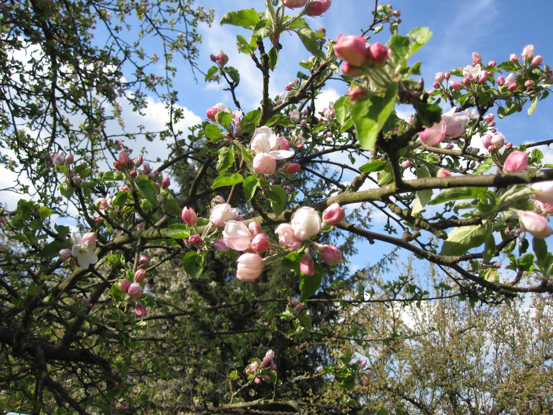 Apfelblüte im April 2014