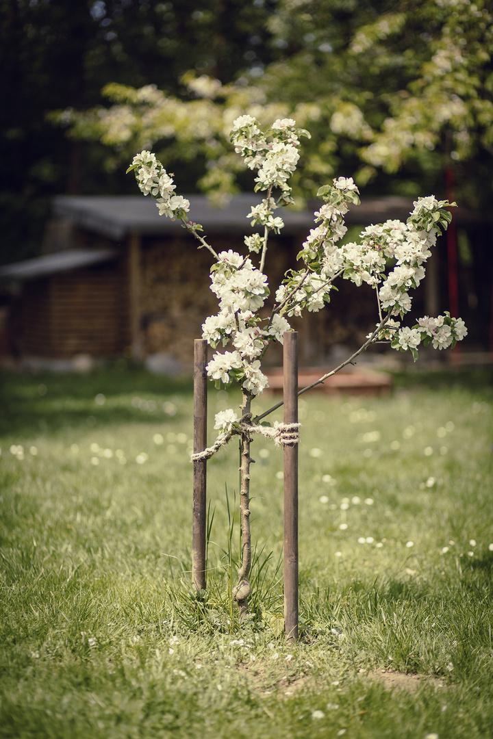 Apfelblüte im eigenem Garten