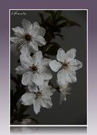Apfelblüte in der Vase