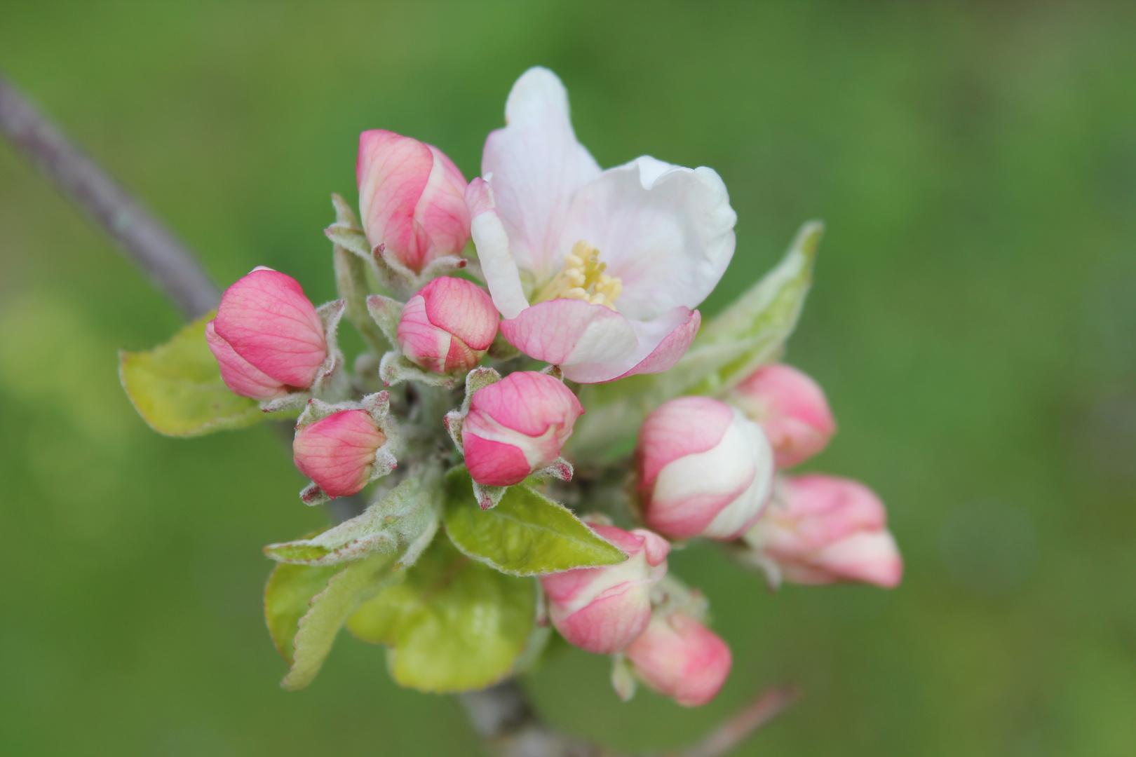 Apfelblüte in meinem Garten