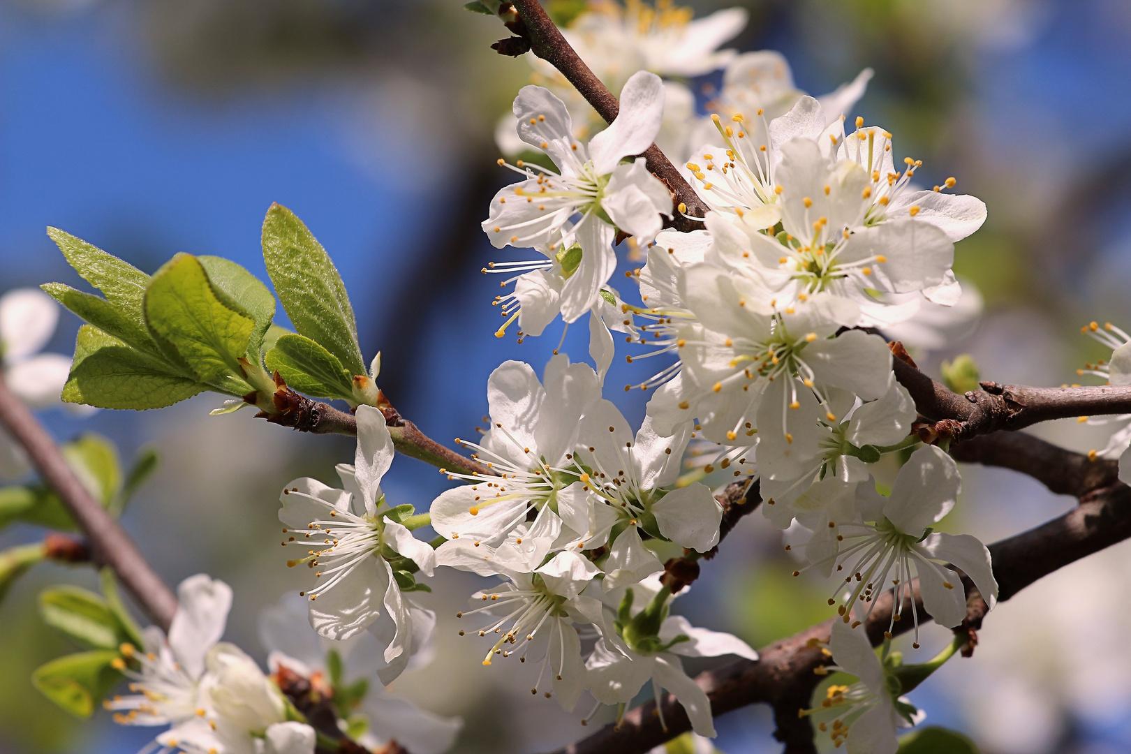 Apfelblüte in Rheinhessen