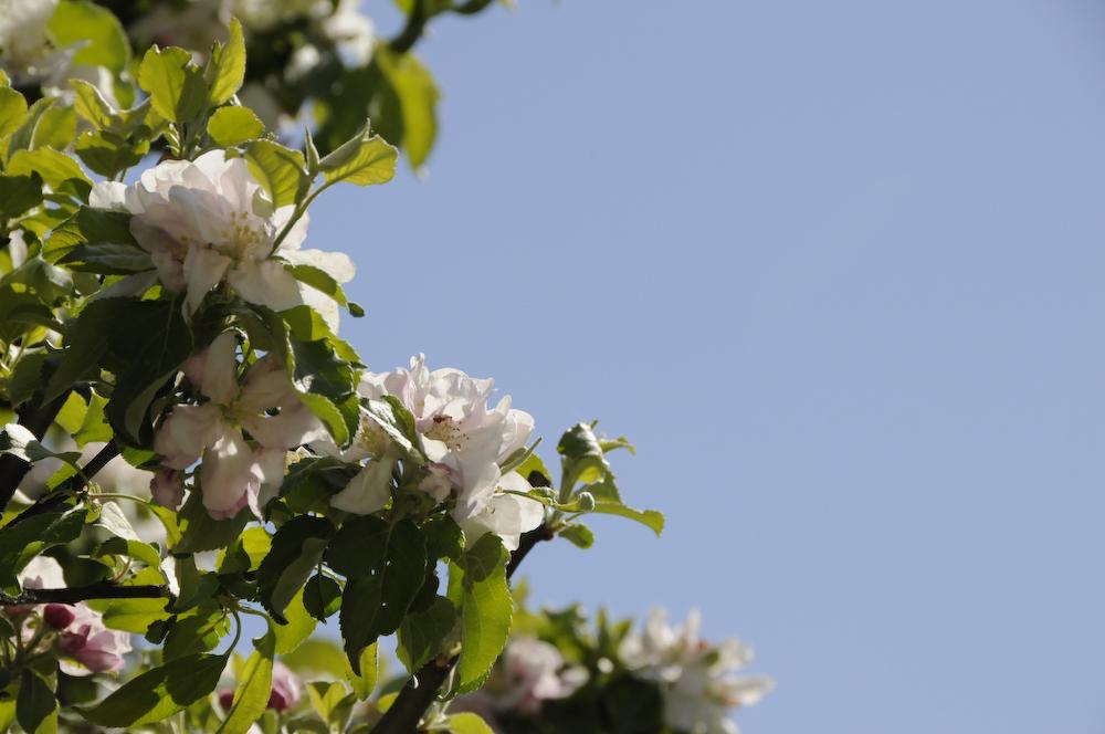 Apfelblüte in Salzburg