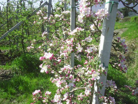 Apfelblüte in Tramin