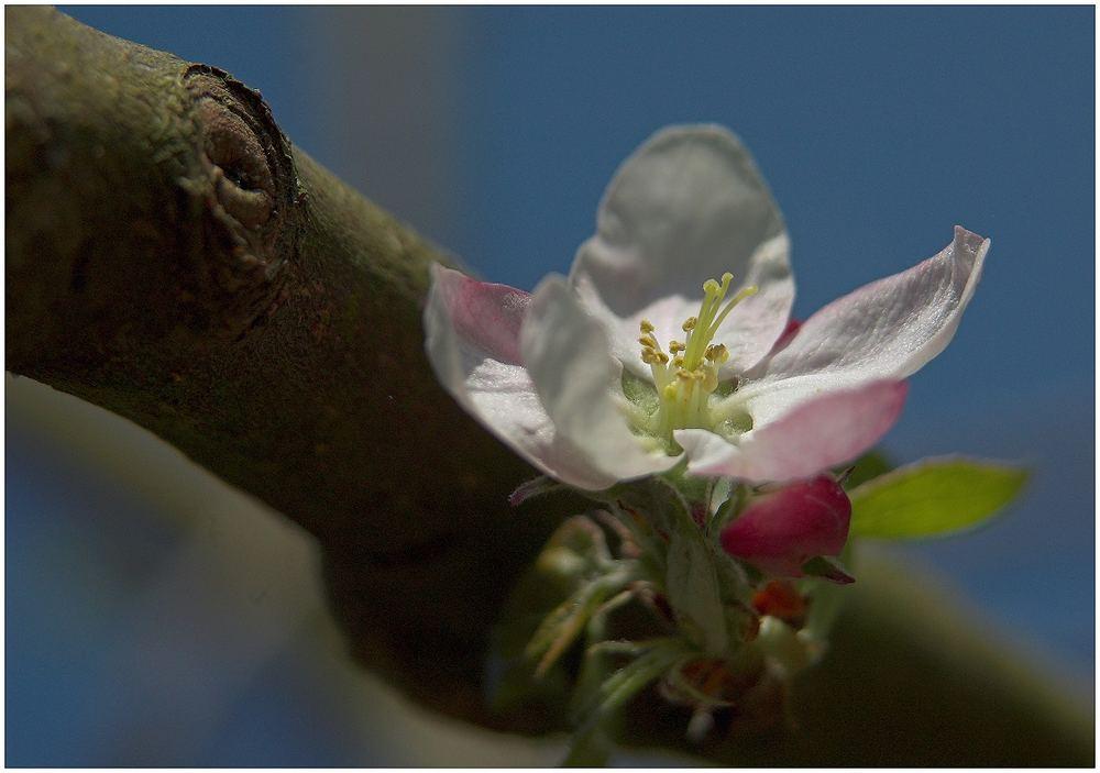 Apfelblüte in unserem Garten
