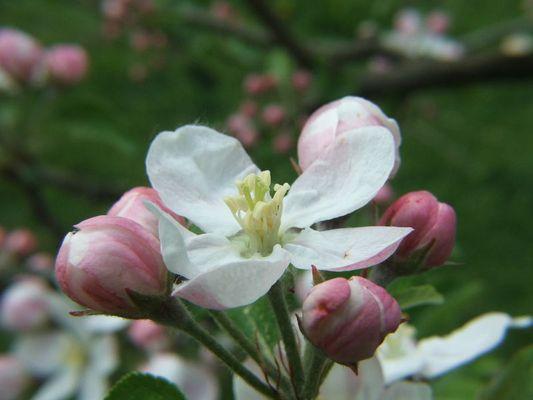 Apfelblüte in zarten Farben