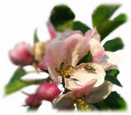Apfelblüte mit Besuch