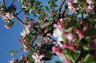 Apfelbluete Teil 2