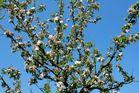 apfelblüte vor blauem osterhimmel