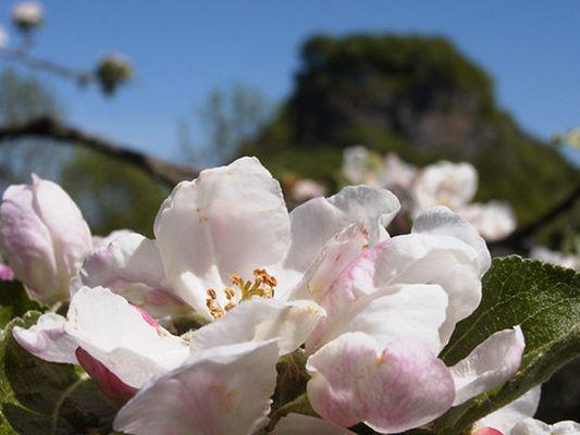 Apfelblüte vor Hohen Krähen (Hegau)