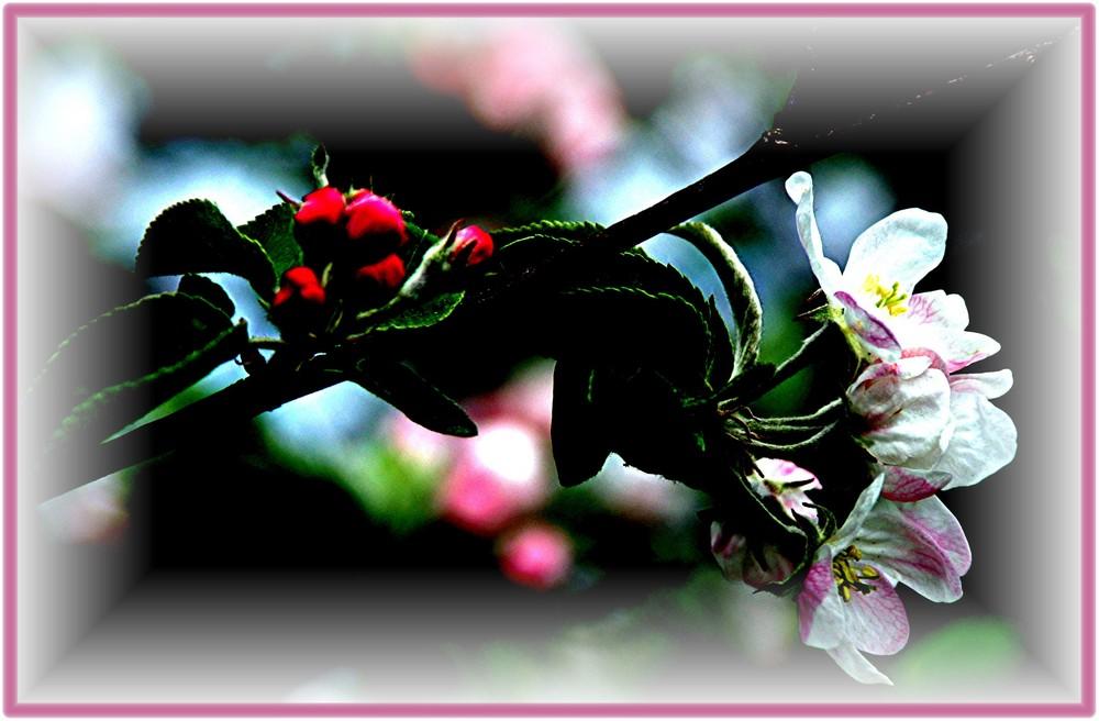Apfelblüte3