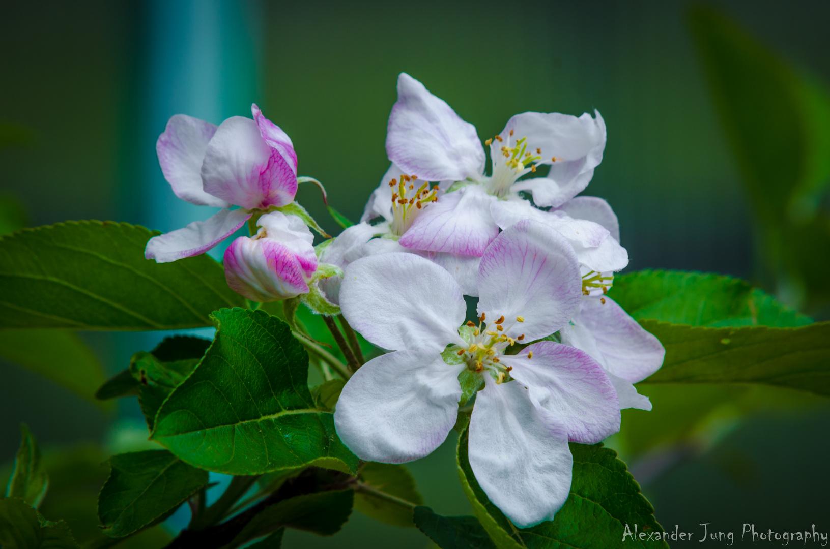 Apfelblüte...bald gibts Apfelkuchen... ;-)