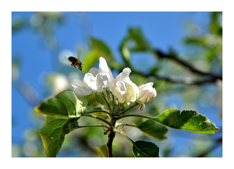 Apfelblüte.......Biene im Anflug