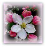 ... Apfelblüten...