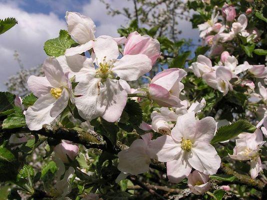 Apfelblüten am Kaiserstuhl