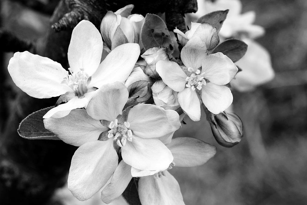 *Apfelblüten*