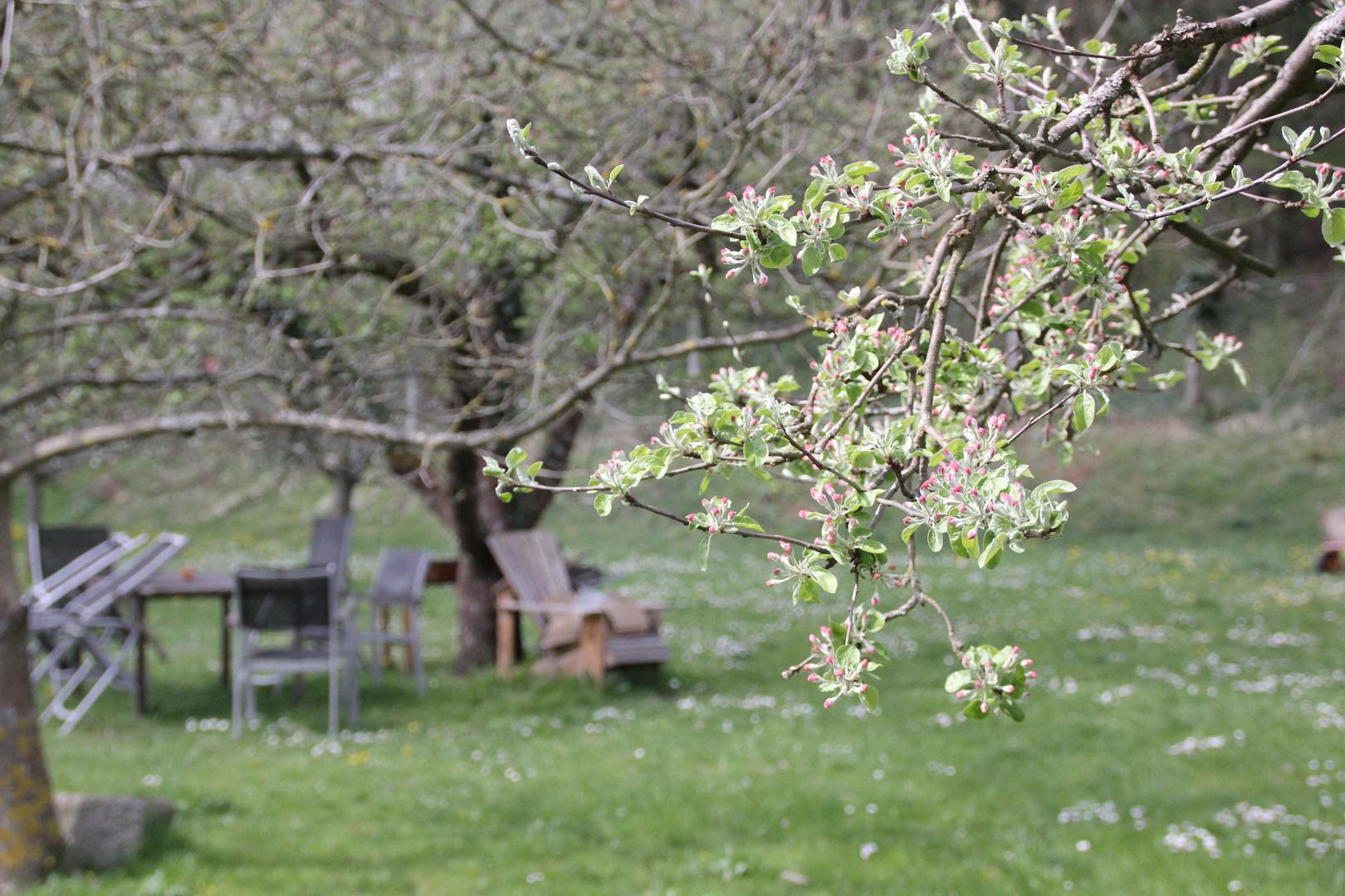 Apfelblüten im Anmarsch