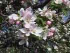 Apfelblüten in Gesellschaft