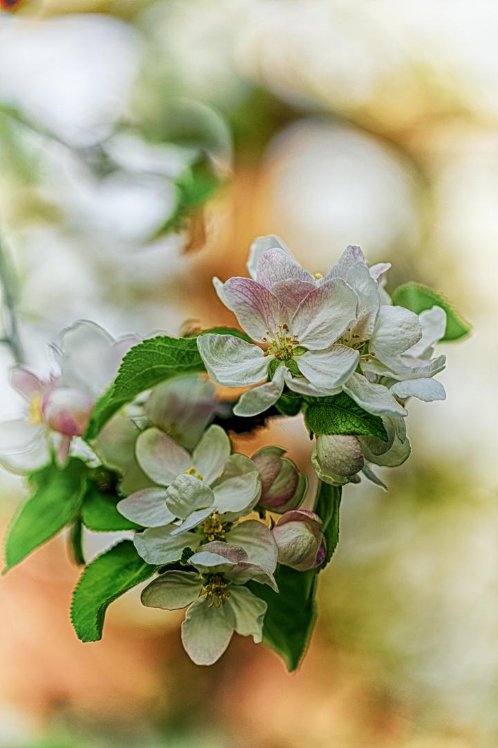Apfelblüten in HDR