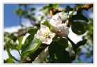 Apfelblüten in Mamas Garten