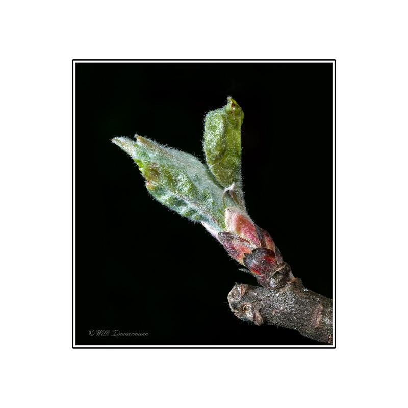 Apfelblüten-Knospe