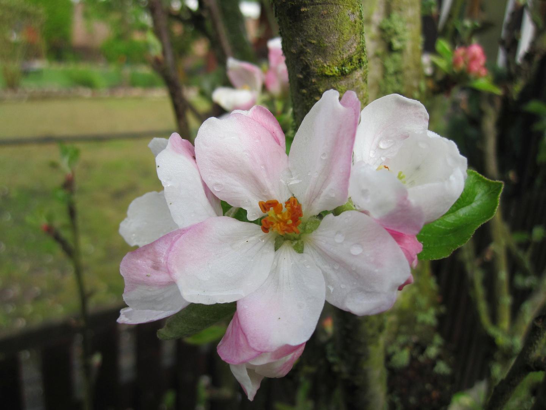 Apfelblüten nach dem Regen