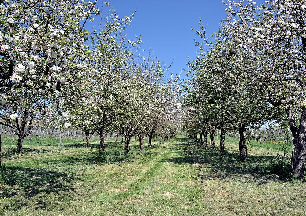 Apfelblüten so weit das Auge reicht.