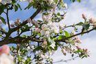 Apfelblüten vor dem Hagelschlag
