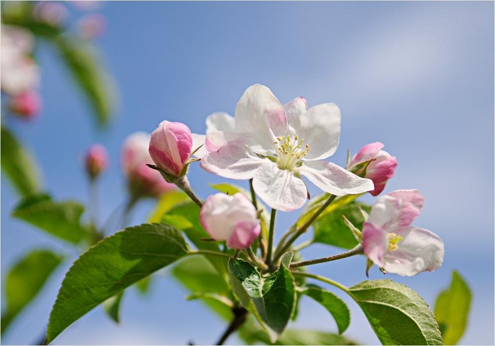 Apfelblüten vor Himmelblau