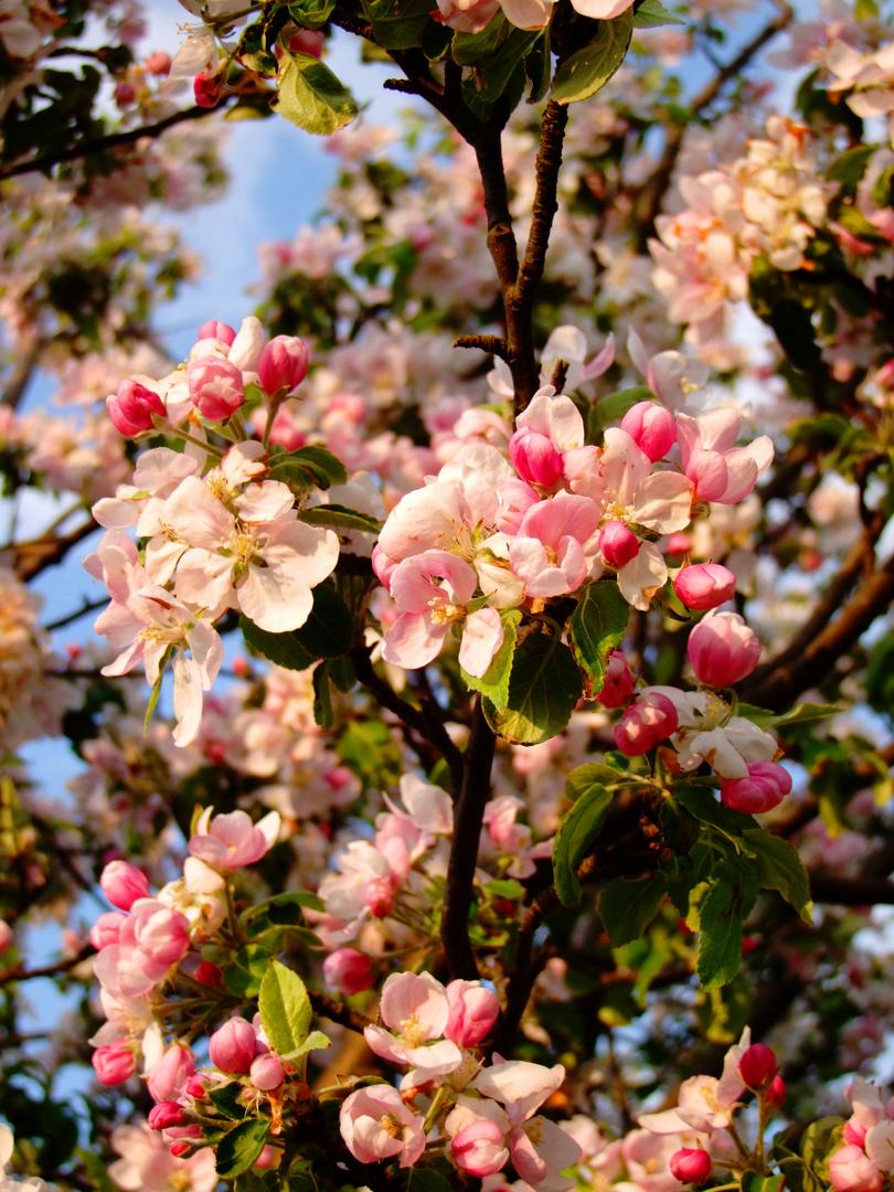Apfelblütenmeer