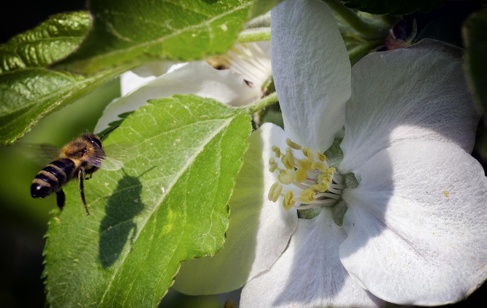 Apfelblütenverlockung