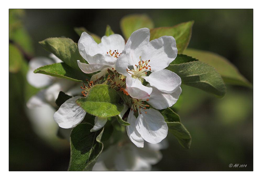 Apfelblütenzeit - 2
