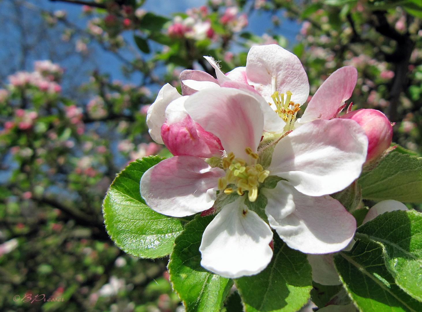 Apfelblütenzeit