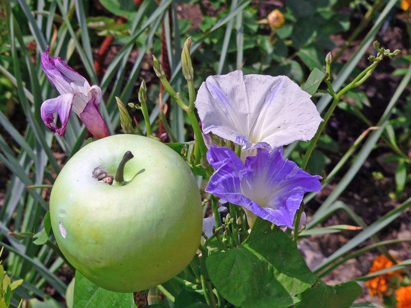 Apfelblume oder Apfel mit Blumen