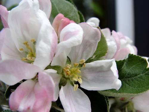 Apfelbüte 2