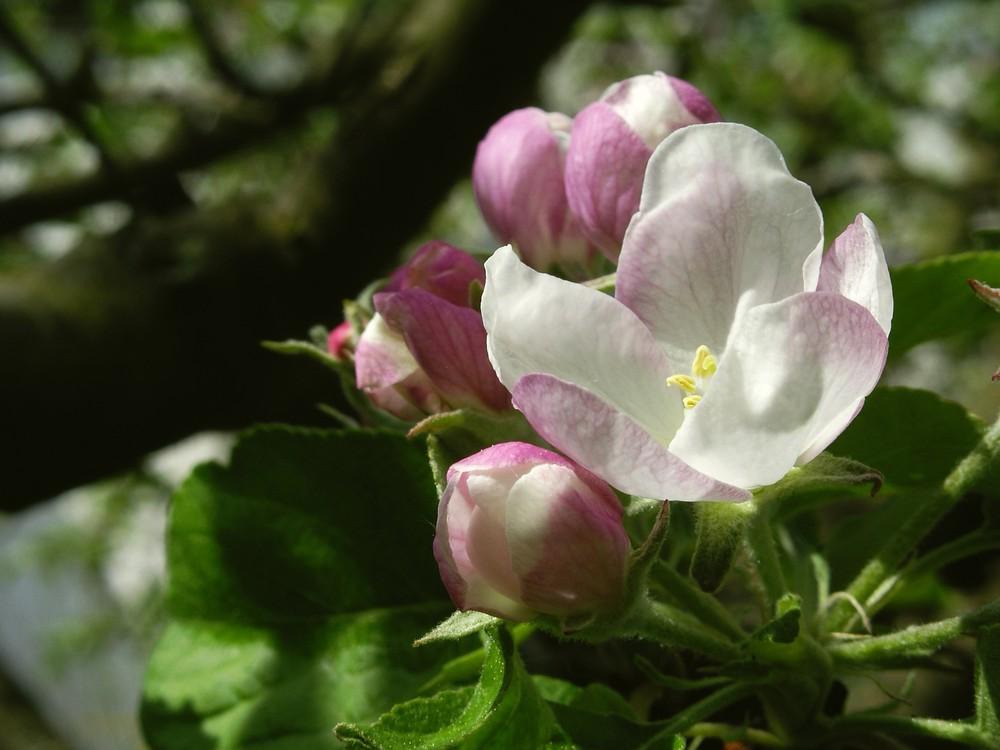 Apfelbüte im April